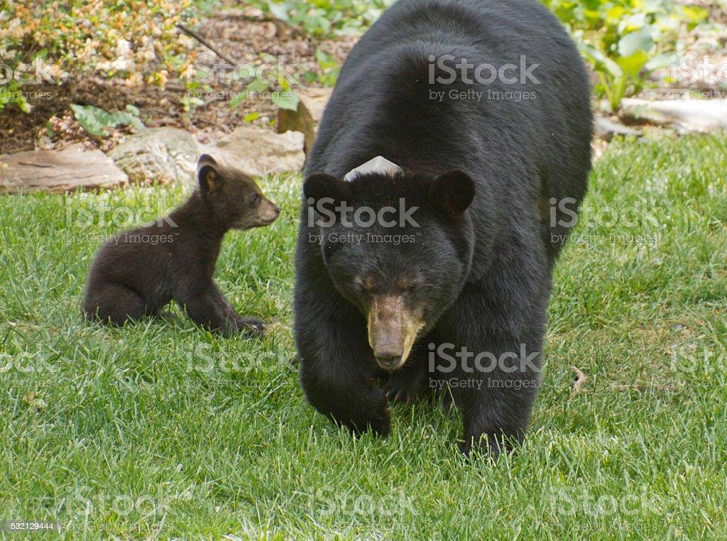 Mama Black Bear and Baby stock photo