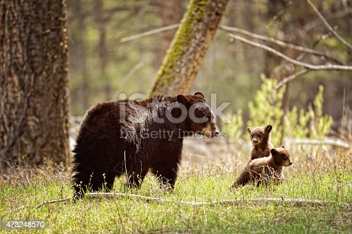 istock Mama Black Bear and Her Cubs  - Yellowstone National Park 473248570
