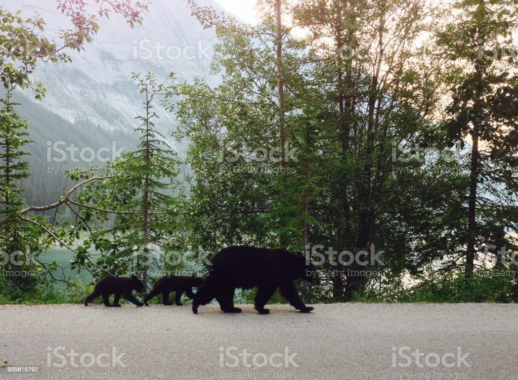 Mama Black Bear And Two Cubs Walk On Road Royalty Free Stock Photo