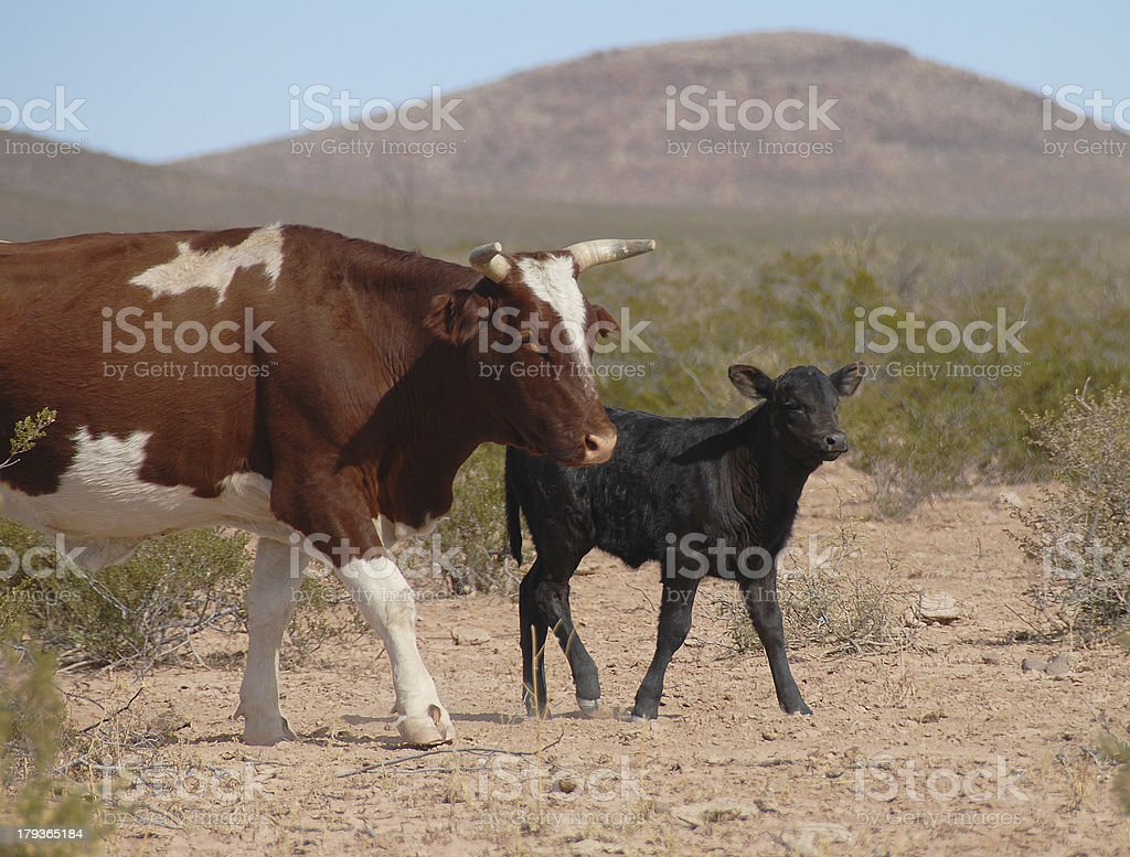 Mama Cow and Calf on New Mexico Ranch royalty-free stock photo