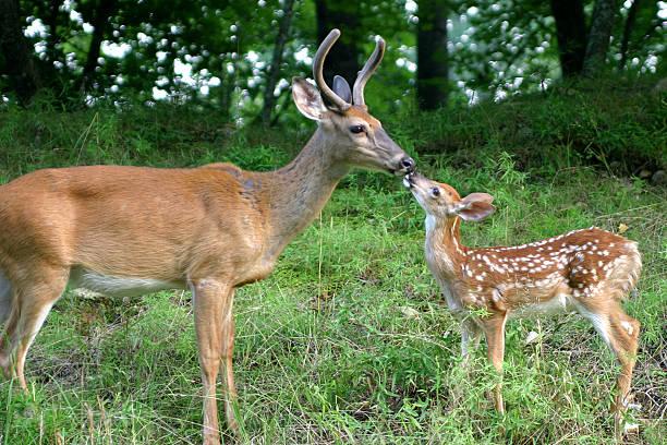 deux cerfs - faon photos et images de collection