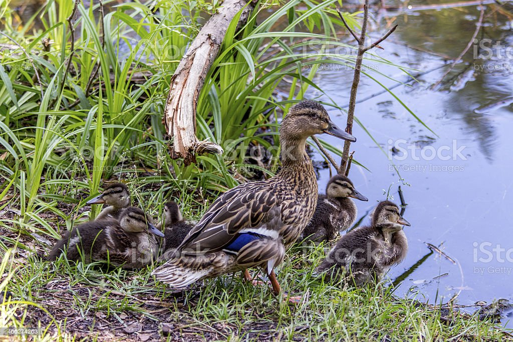 Mama duck with ducklings near water royalty-free stock photo