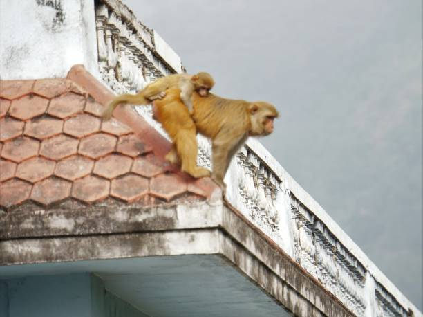 Mama monkey preparing to leap stock photo