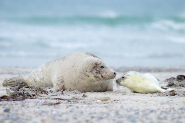 Mama. The seal with a baby, island Helgoland. seal pup stock pictures, royalty-free photos & images