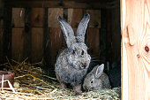 A protective rabbit mama next to her baby standing in a barn.