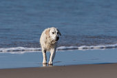 White Labrador dog looks for the next object of fun while emerging wet from the ocean water.