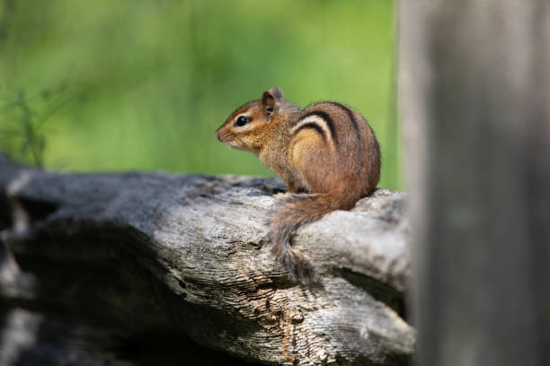 Mammals Rodents Small Eastern Chipmunk Resting Wooden Fence stock photo