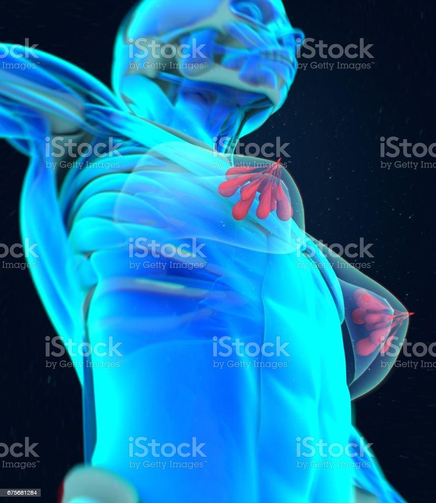 Mammary glands, lobes, breast milk. 3d illustration royalty-free stock photo