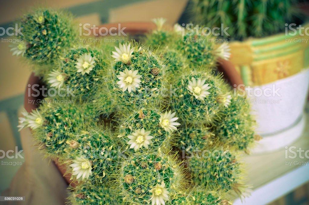 mammillaria cacti white flower group. Closeup photo foto de stock libre de derechos