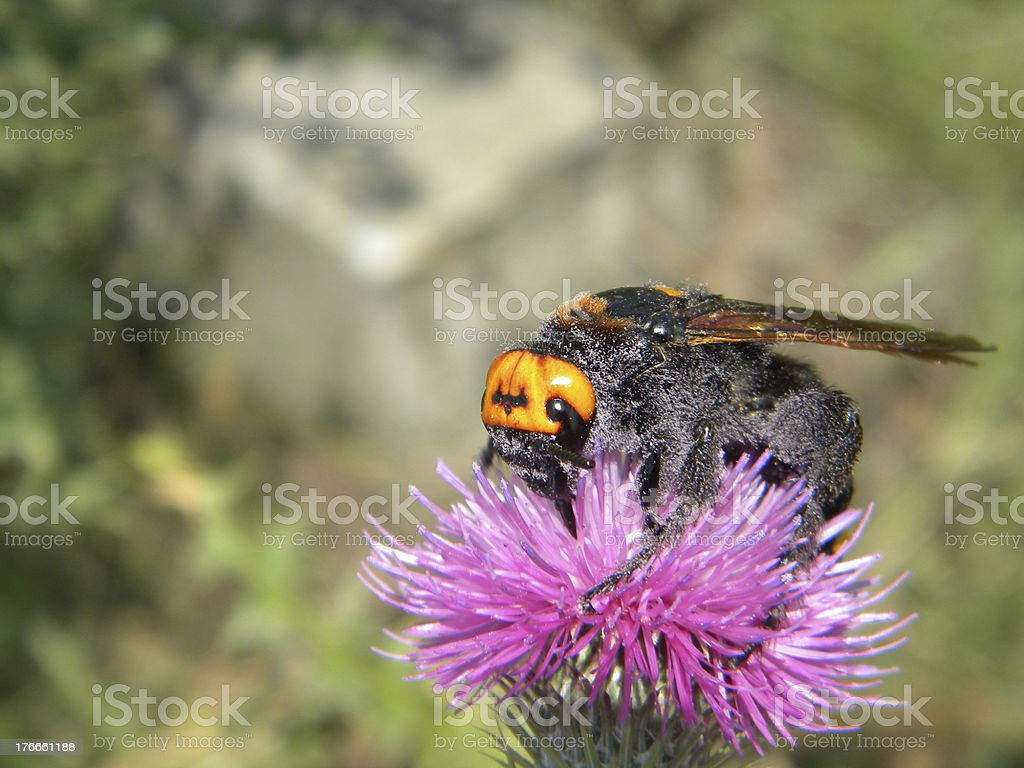 Mammoth wasp royalty-free stock photo