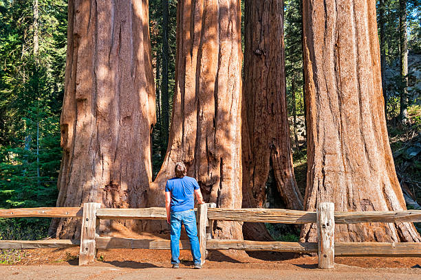 Man Admires Giant Sequoias Grant Grove Kings Canyon National Park stock photo
