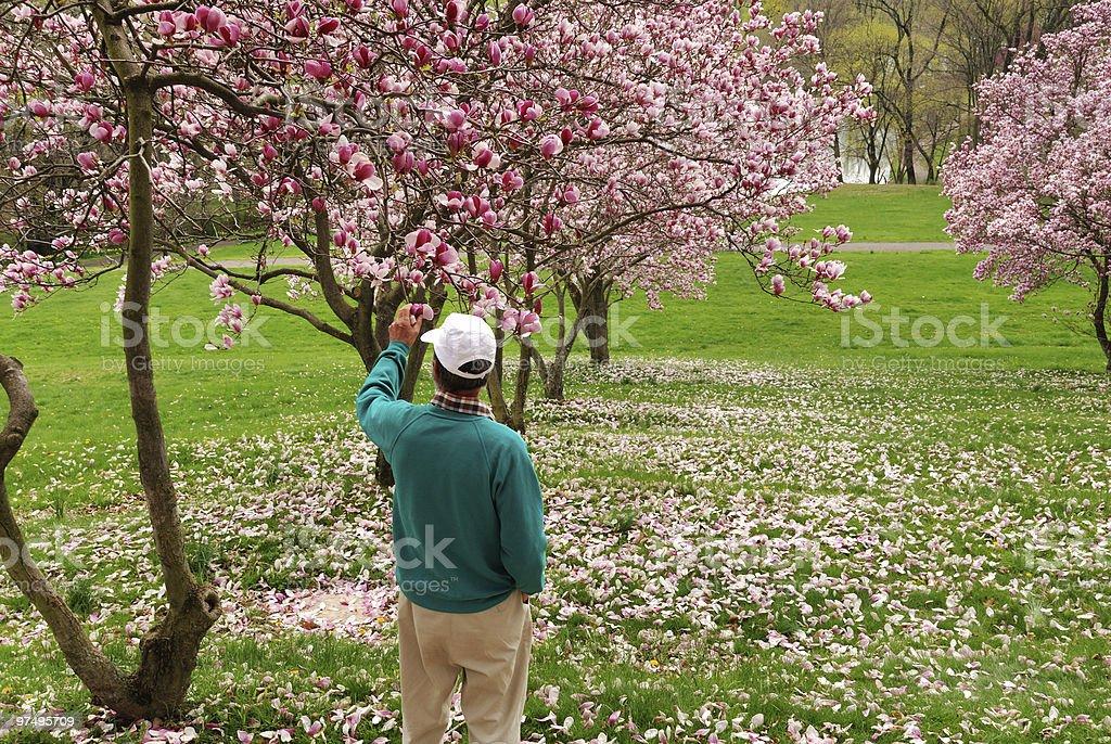 Man admiring magnolia blooms royalty-free stock photo
