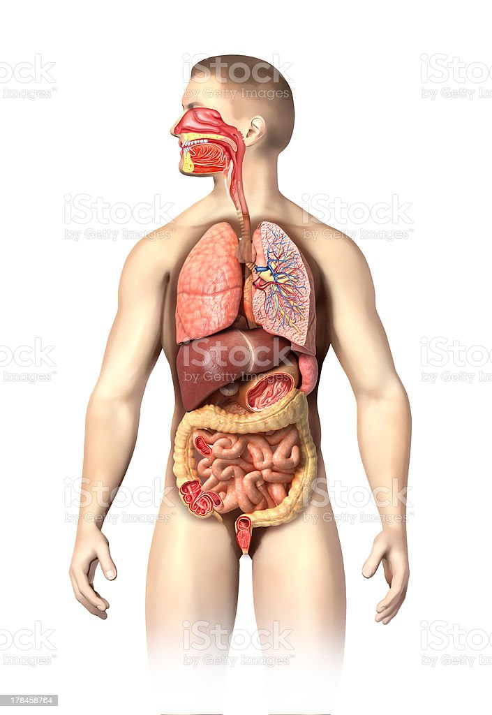 Man anatomy full respiratory and digestive systems cutaway. stock photo