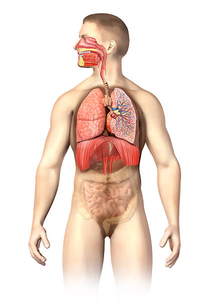 Man anatomy. Respiratory system cutaway, including mouth. On white background. stock photo