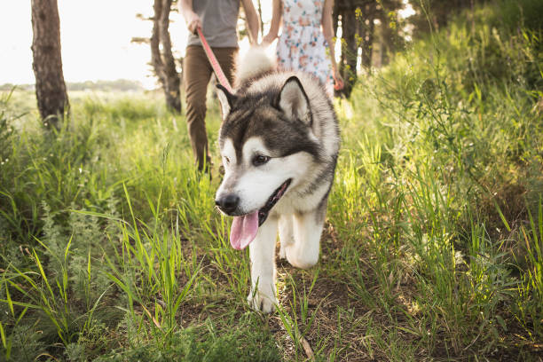 Man and a woman are walking with a dog in the forest. Man and a woman are walking with a dog in the forest. A loving couple holds hands. husky dog stock pictures, royalty-free photos & images