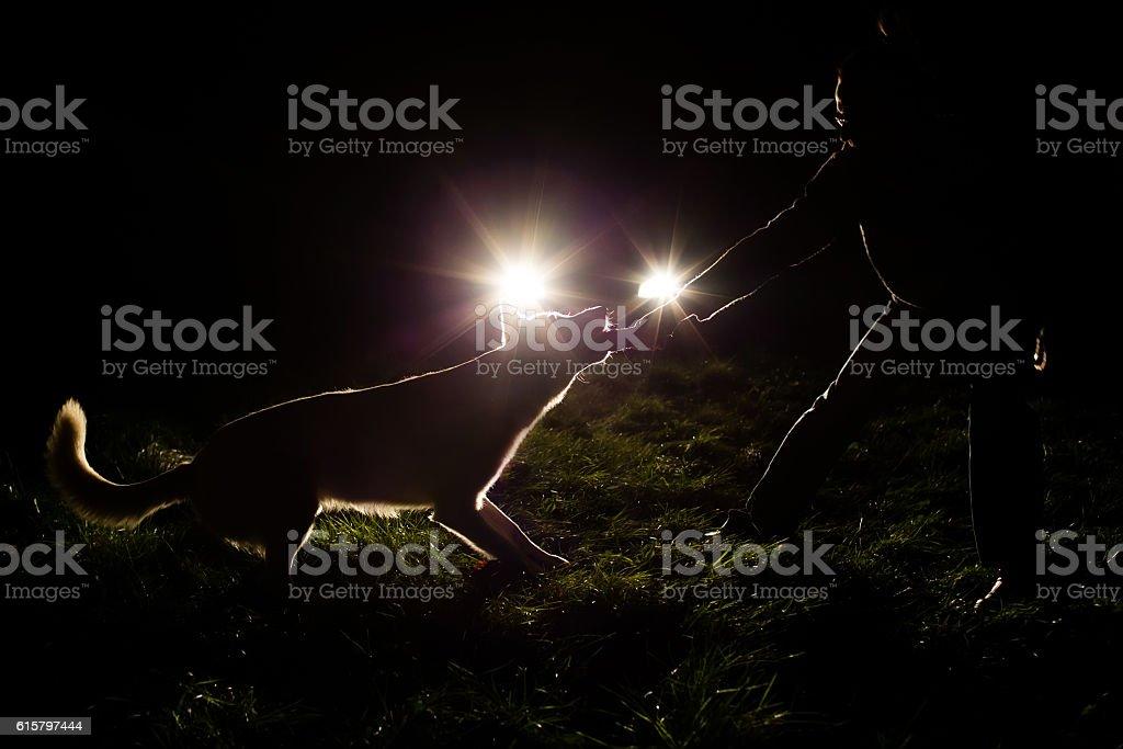 White Swiss shepherd dog and men silhouette in the headlights