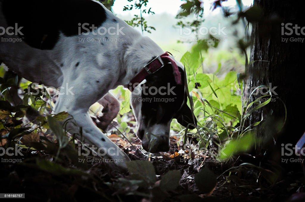 Man and his dog searching truffle stok fotoğrafı