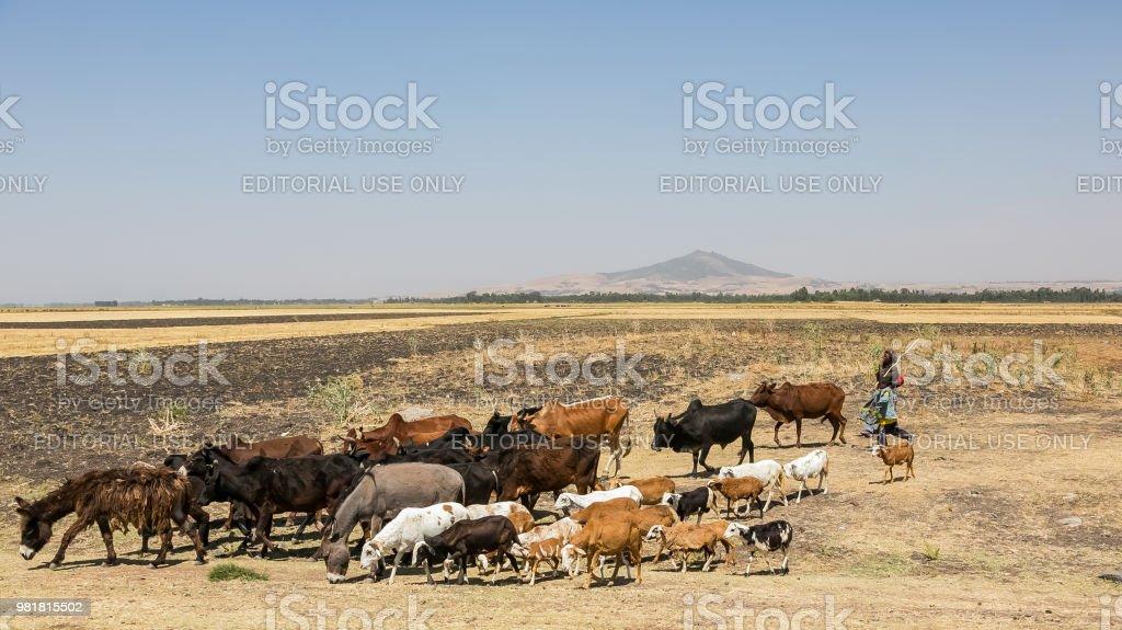 Man en zijn kudde koeien, geiten en ezels foto