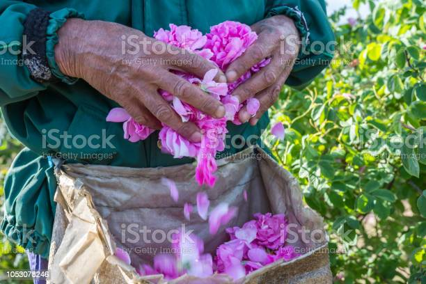 Man and picked by him fresh pink roses for perfumes and rose oil in picture id1053078246?b=1&k=6&m=1053078246&s=612x612&h=lh2gqrhplcw6pg i uti0rh gubamarjxxrwr2yqdya=