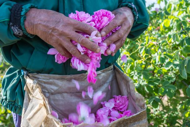 homme et choisi par lui des roses fraîches de roses (rosa damascena, rose de damas) pour les parfums et huile dans jardin a augmenté sur un buisson au printemps. - damas en matière textile photos et images de collection
