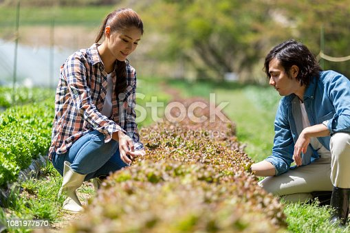 istock A man and woman harvesting sunny lettuce 1081977570