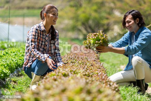 istock A man and woman harvesting sunny lettuce 1081977586