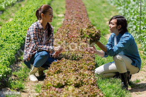 istock A man and woman harvesting sunny lettuce 1081977596
