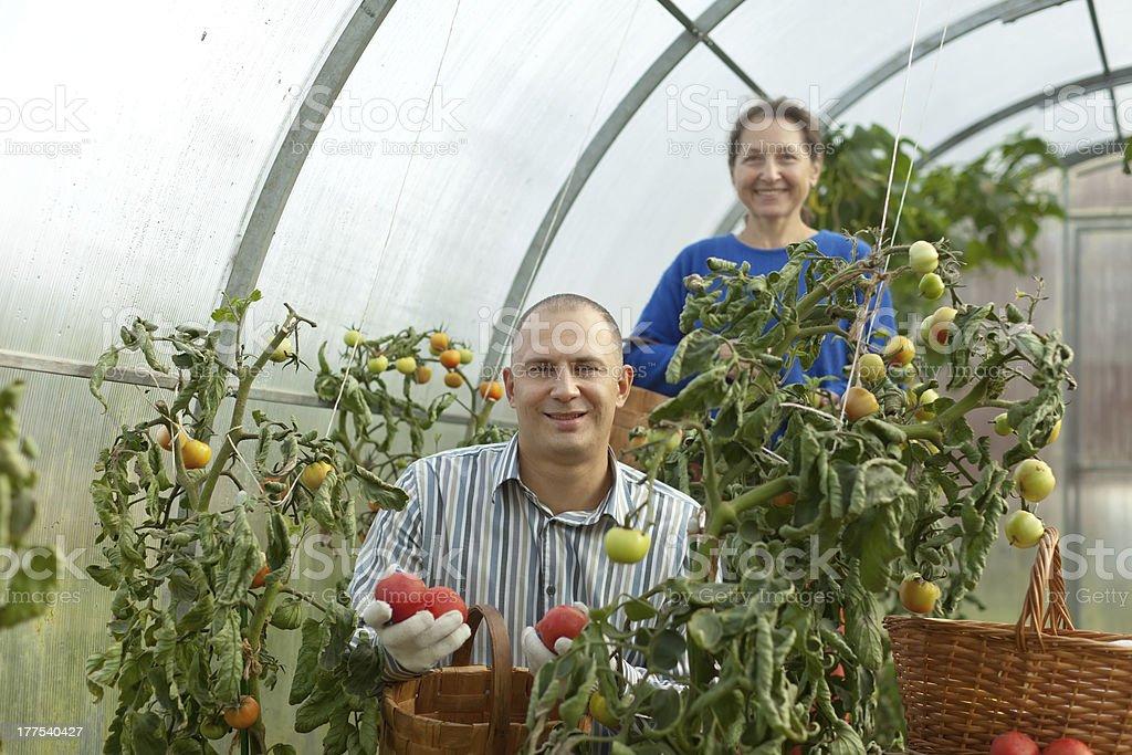 Man and woman picking tomato royalty-free stock photo
