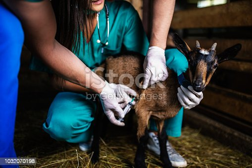 Man and woman veterinarians at large goat farm checking goat's health.