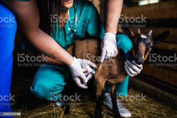 Man and woman veterinarians at large goat farm checking goats health picture id1032070198?b=1&k=6&m=1032070198&s=612x612&h=tkcjnjkk7 ecd7wyszx2gvkws9pefoigleri3n5yi8s=