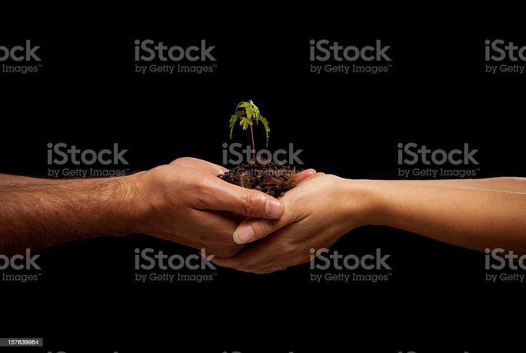 Man and Woman's hands holding a Maple Seedling in Soil royalty-free stock photo
