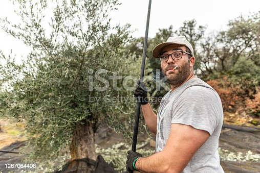 Real images of work day of men collecting black olives for produce olive oil