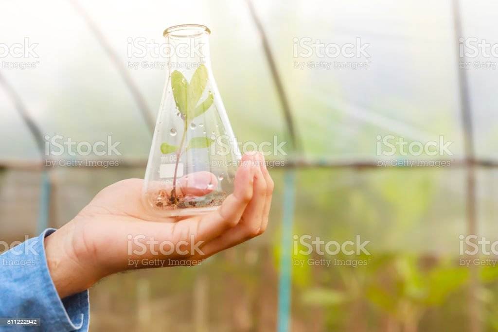 Man biologist pouring liquid from test tube in greenhouse. Agriculture concept. stock photo