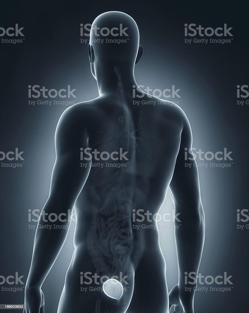 Man bladder antomy royalty-free stock photo
