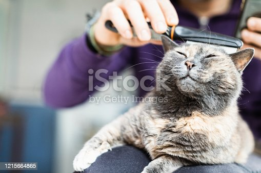 Man Brushing With Comb Anti Fleas The Domestic Cat