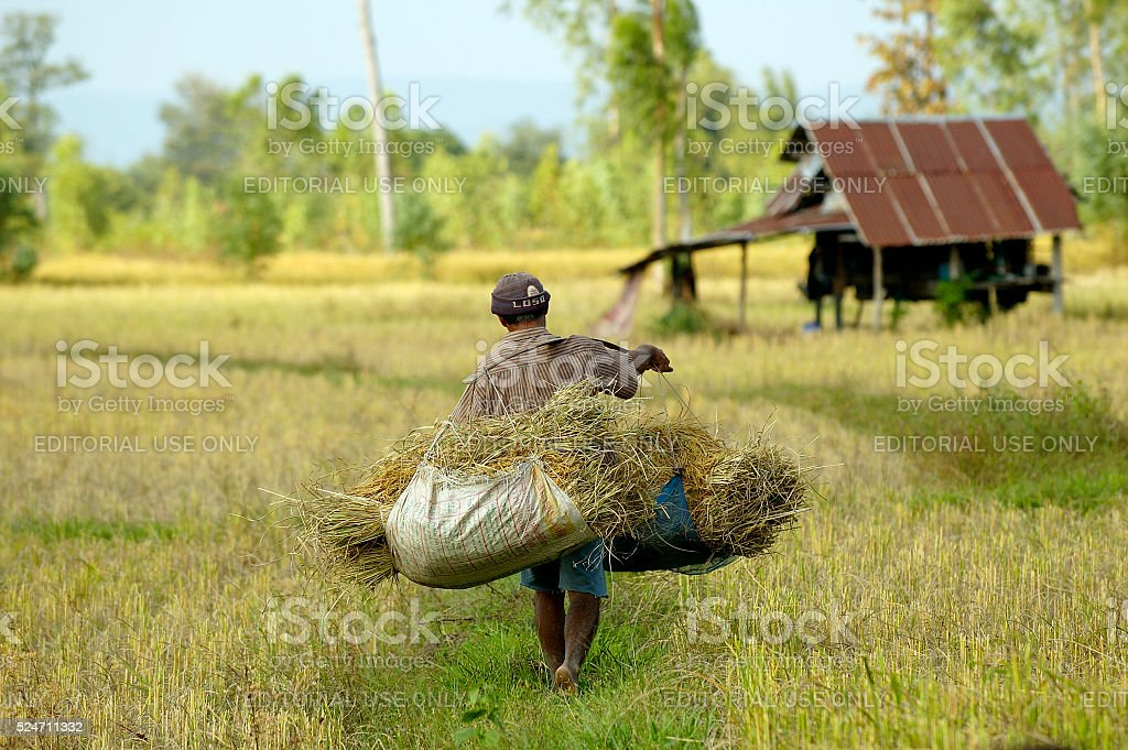 man carries home harvested rice in thailand stock photo