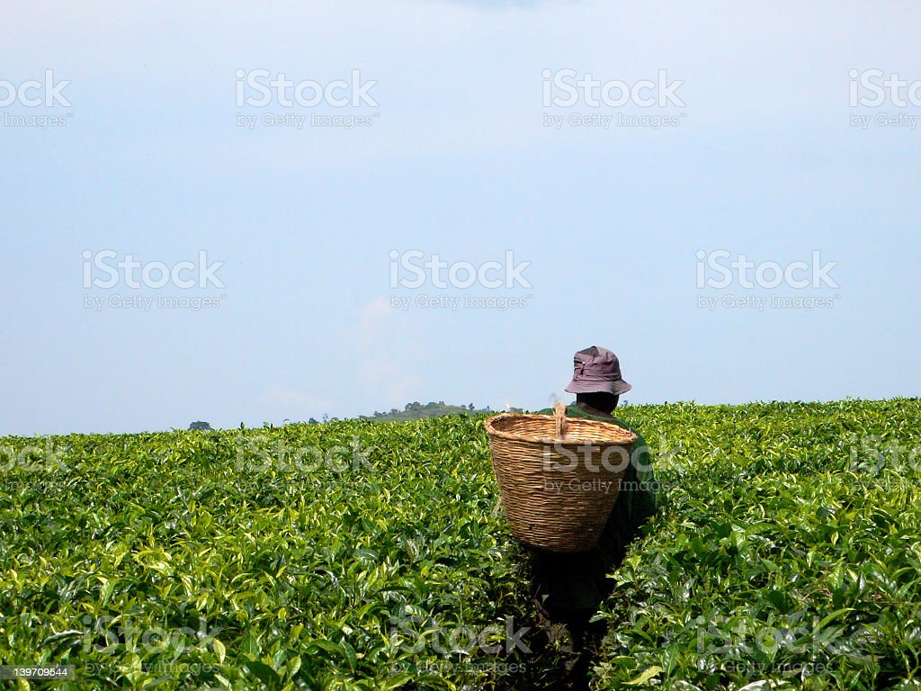 A man carrying a basket on his back picking tea leaves royalty-free stock photo