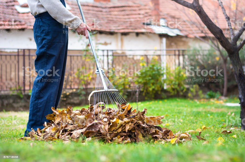 Backyard Cleaning man cleaning fallen autumn leaves in the yard stock photo & more
