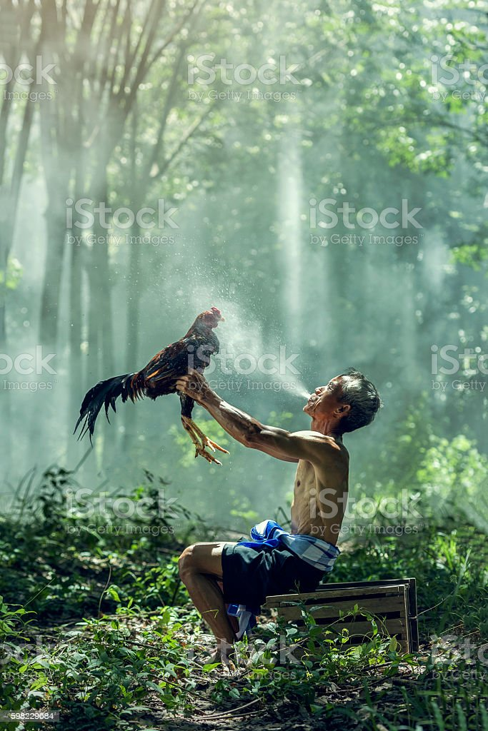 Man cleaning Thai gamecock. FitnessThai gamecock. stock photo