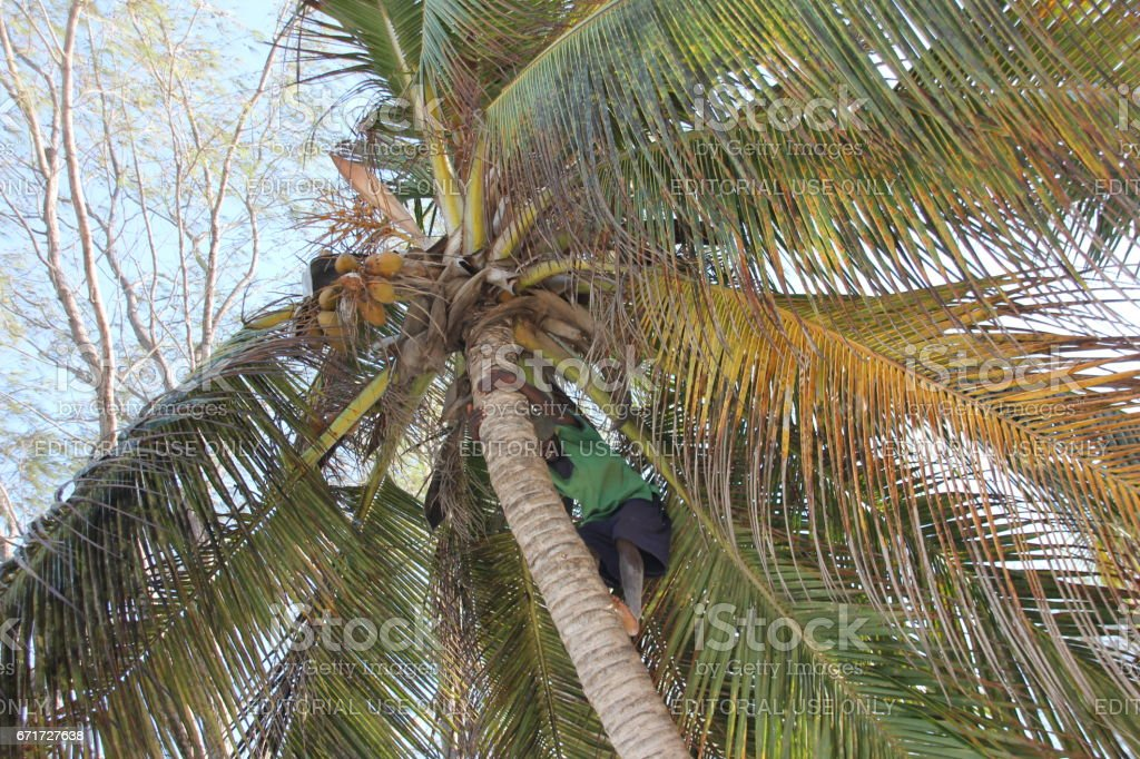 Man climb a coconut palm tree for harvesting coconuts at the beach of...