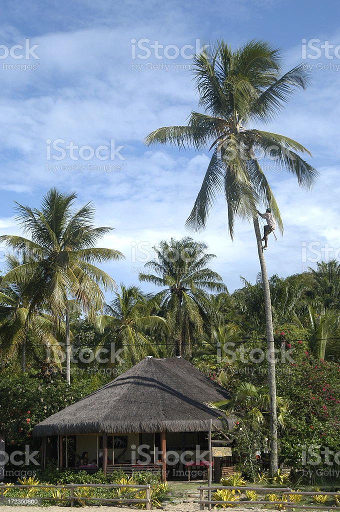 Man Climbing Palm Tree to Pick Fresh Coconuts royalty-free stock photo