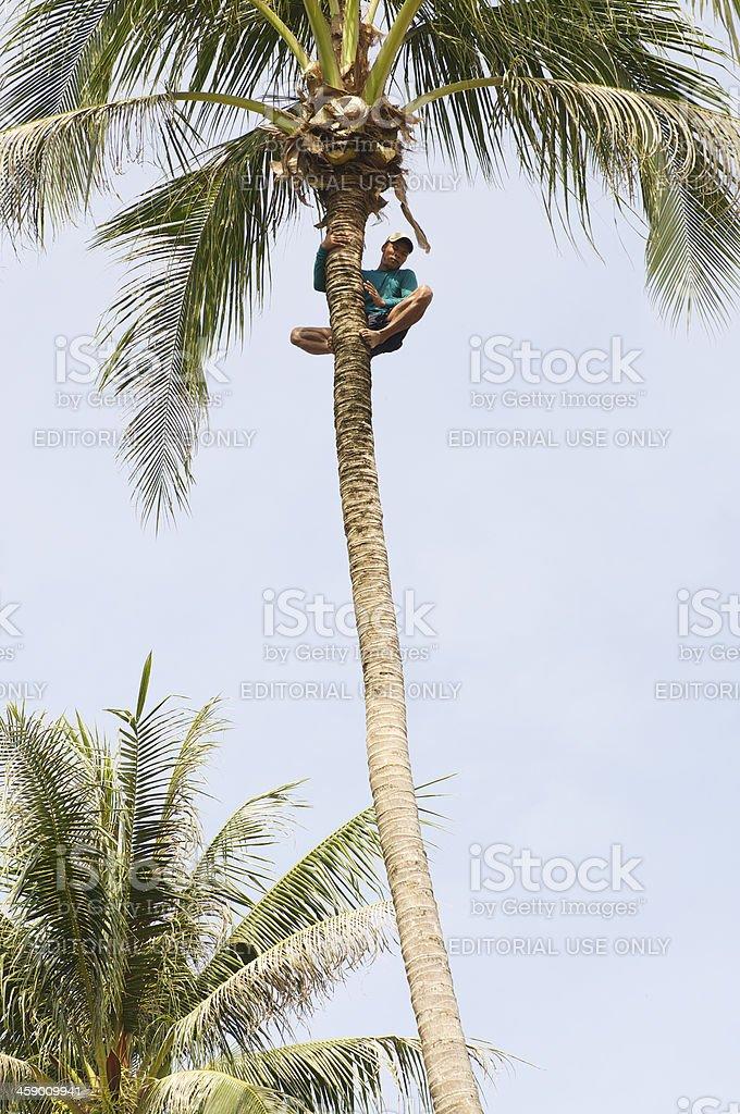 Man Climbs Tall Coconut Palm Tree stock photo