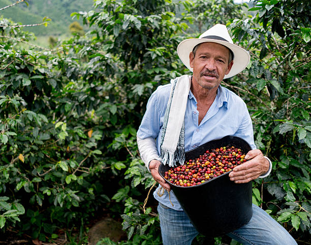 man collecting coffee beans at a farm - coffee 뉴스 사진 이미지