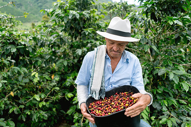man collecting coffee beans at a farm - colombia stock photos and pictures