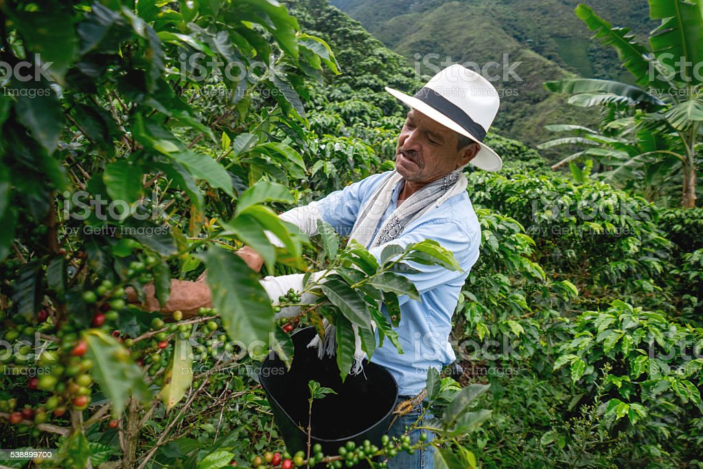 Man collecting colombian coffee stock photo