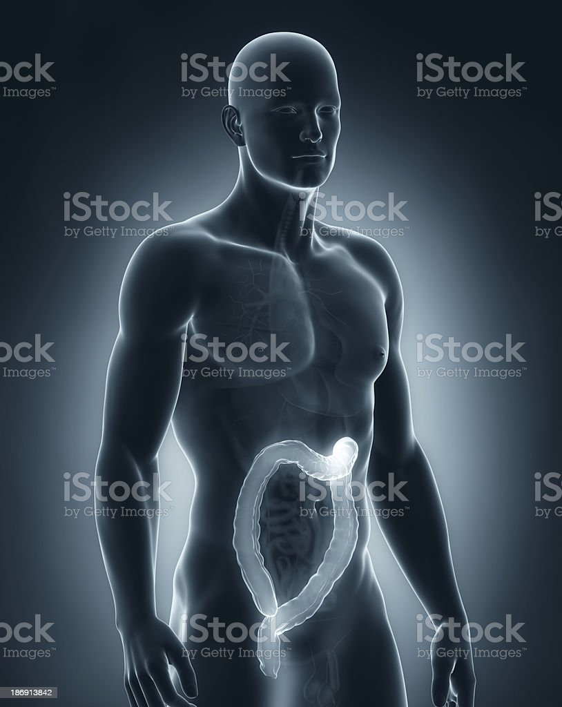 Man colon anatomy royalty-free stock photo