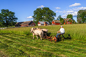Hornborga, Sweden - July 10, 2016:  Man driving a Hay mower with horses in a rural landscape