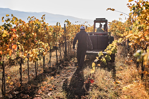 Man driving tractor on dirt road among vineyards