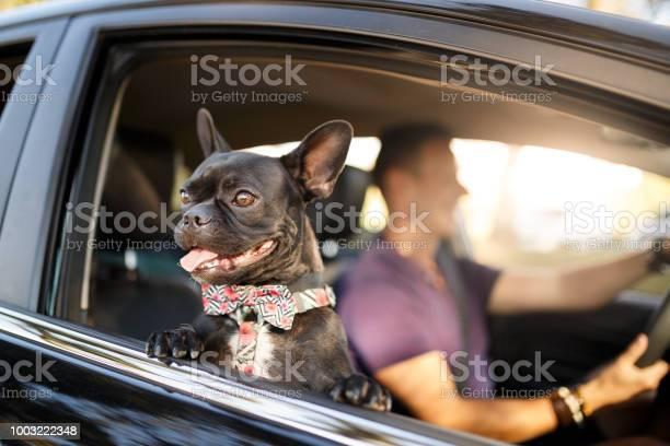 Man driving with his dog picture id1003222348?b=1&k=6&m=1003222348&s=612x612&h=gufutzmj83xpp02r8vaag0fw4bu4efkdchienyiwbzy=
