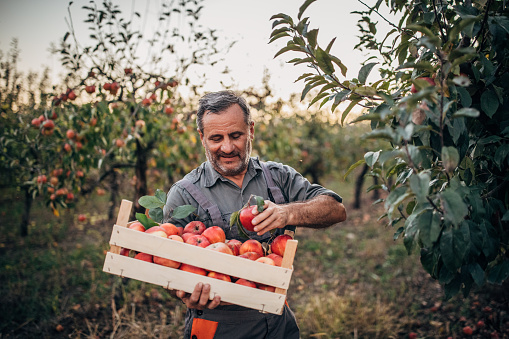 istock Man farmer picking up apples in fruit orchard 1184380787
